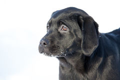 Chiens de labrador retriever Images stock