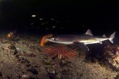 Chiens de mer épineux photo stock