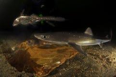 Chiens de mer épineux photographie stock
