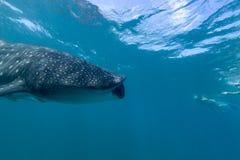 chiens de mer Grand-dits du bout des lèvres flottant près de la surface en Maldives Photographie stock
