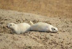 Chiens de prairie blancs Images stock