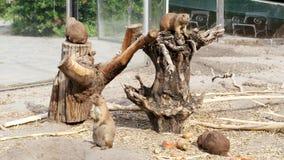 Chiens de prairie dans le zoo de Budapest dans le zoo, sur des rondins, vieilles racines, consommation de chiens de prairie banque de vidéos