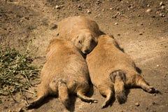 Chiens de prairie paresseux photos libres de droits