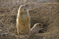 Chiens de prairie, ville de chien de prairie, monument d'état, Greycliff, la TA Images stock