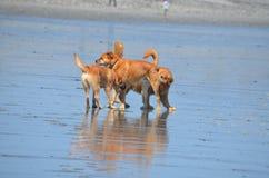 Chiens de réunion sur la plage de NH Images libres de droits