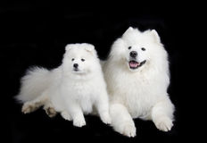 Chiens de Samoyed Photo libre de droits