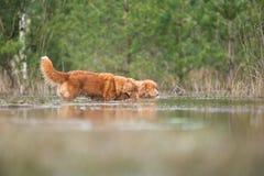 Chiens de Toller recherchant dans l'eau Photographie stock