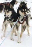 chiens de traîneau Photographie stock
