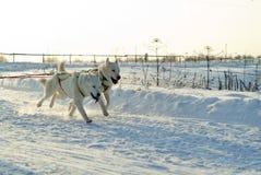 Chiens de traîneau blancs sur la neige blanche un jour ensoleillé photographie stock