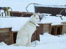 Chiens de traîneau d'Alaska attendant pour être choisi pour les traîneaux photographie stock