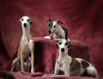 3 chiens de whippets Photo stock