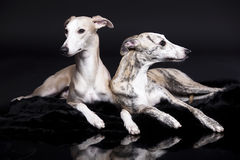 Chiens de whippets Image stock