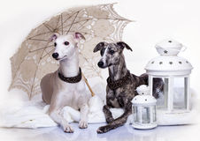 Chiens de whippets de couples Photos stock