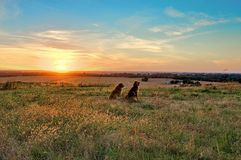 Chiens donnant sur le coucher du soleil à la ferme photographie stock