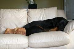 Chiens dormant sur les meubles Photo stock