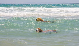 Chiens en mer Photos stock