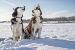 Chiens enroués sur la promenade d'hiver Hurlements enroués sibériens, regards enroués bruns à lui Paysage ensoleill? d'hiver images libres de droits