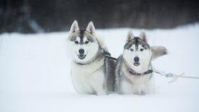 Chiens enrou?s sib?riens sur le fond d'hiver Deux chiens enrou?s stup?fiants se tenant sur la neige photo stock