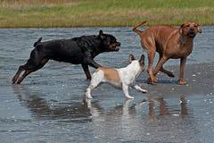 3 chiens espiègles sur la plage 7 Images libres de droits