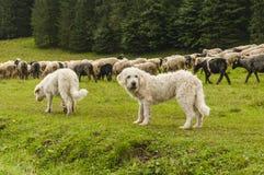 Chiens et moutons Images stock