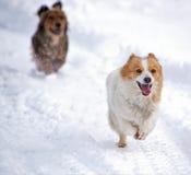 Chiens fonctionnant dans la neige blanche Photos libres de droits