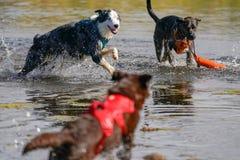 Chiens fonctionnant et jouant dans l'eau Photo libre de droits
