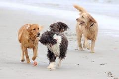 Chiens jouant avec une boule à la plage Images libres de droits