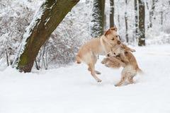 Chiens jouant dans la neige Image libre de droits