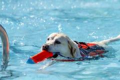 Chiens jouant dans la piscine Photographie stock libre de droits
