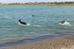 Chiens jouant et cherchant dans l'eau au delà de la plage de parc de chien Images stock