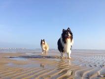 Chiens marchant à la plage Photos libres de droits