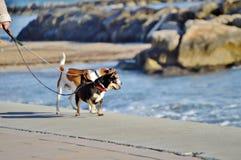 Chiens marchant par la plage image stock