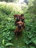 chiens mignons dans le pré vert Images stock