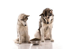 Chiens mignons et leur nourriture préférée sur un fond blanc Photographie stock