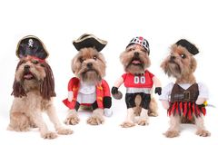 Chiens multiples drôles dans des costumes de pirate et de football Photo stock