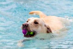 Chiens nageant dans le pool public Photo stock