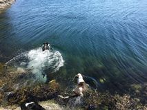 Chiens nageant en Norvège Photo libre de droits