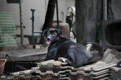 Chiens noirs égarés en Thaïlande Images stock