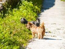 Chiens noirs et bruns sur la campagne au printemps Images stock