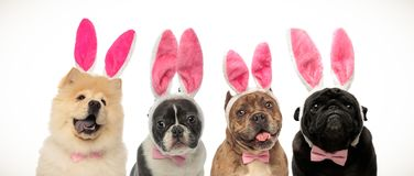Chiens portant des oreilles et des noeuds papillon de lapin comme costume de Pâques photographie stock