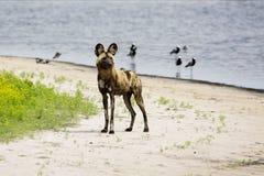 Chiens sauvages détendant dans un étang peu profond Photos libres de droits