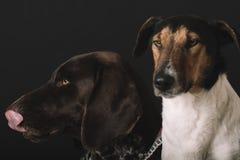 Chiens somnolents à la maison Portrait mignon du chien deux Concept d'amitié Terrier et chien allemand d'indicateur se reposant à Photographie stock libre de droits