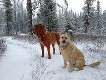 Chiens sur la traînée neigeuse Image libre de droits