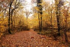 Chiens sur le tapis des feuilles tombées image libre de droits