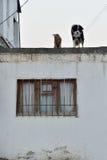 Chiens sur le toit d'une maison dans une partie unmodernised de Bakou, capitale de l'Azerbaïdjan Photo libre de droits