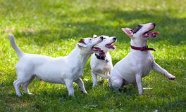 Chiens terriers Images stock