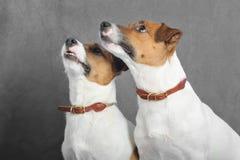 Chiens terriers de Jack Russel Photos libres de droits
