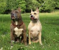 chiens terriers de Staffordshire américain Image libre de droits