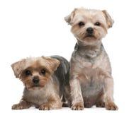 Chiens terriers de Yorkshire, 18 mois, se reposant Images libres de droits