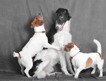 Chiens terriers drôles Photos libres de droits